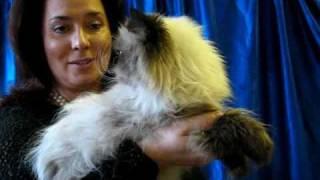 Гималайская кошка на выставке PCA - Himalayan cat