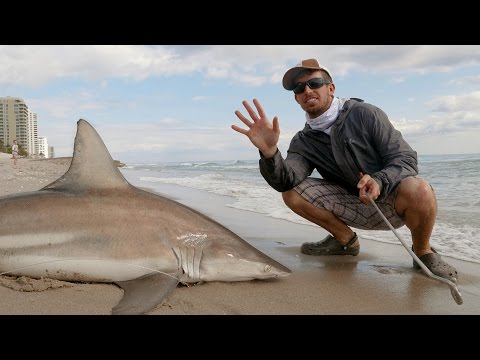Deuce - Proposed New Restrictions To Make Shark Fishing From Beach Much Tougher