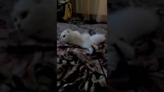 Кот шипит