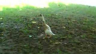 ダーウィン歩く an imprinted indian runner duck is walking!