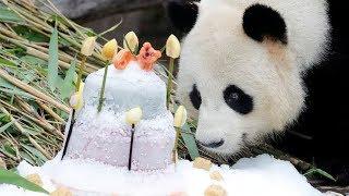 Male panda Jiao Qing celebrates 9th birthday at Berlin zoo