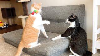 兄猫と弟猫が初めてケンカをした