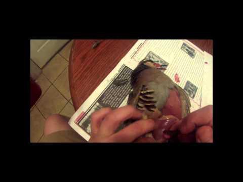 GLORIOSO WILDLIFE MOUNTS TAXIDERMY CHUKAR SKINNING GO PRO VIDEO