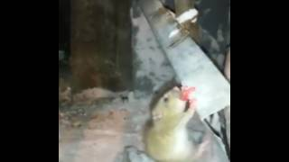 Крыса лизнула трубу на морозе ПРИКОЛЫ 2017