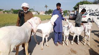 Rajanpuri Goat Farming business | Rajan puri bakri Farm