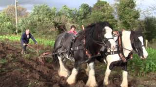 Harvesting Potatoes With Horsedrawn Machinery And Irish Cob Horses (and some people).