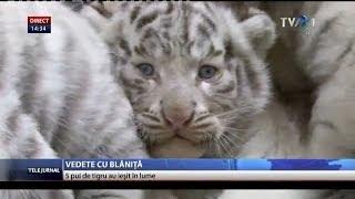 Cinci pui de tigru alb s-au nascut la o gradina zoologica din Austria