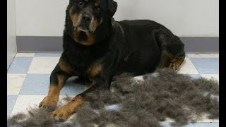 Professional Rottweiler Grooming Tips | Tips About Grooming Rottweilers