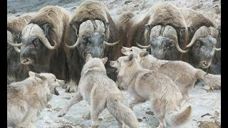 Animals fight Wolves vs Musk oxens