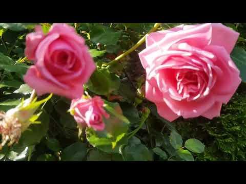 Обзор плетистой розы Coral Dawn (Корал Давн)