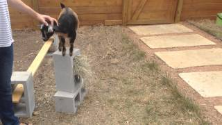 Pick on goats your own size, bully. Subscribe: http://www.youtube.c...