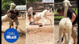 Misty the FEISTY llama attacks volunteer zookeeper - Daily Mail