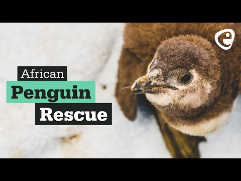 The African Penguin: Rescue, Rehab & Release (South Africa)