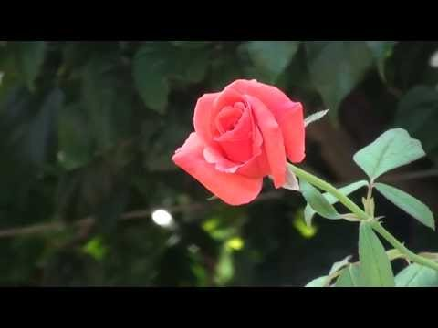 New Sony handycam HD video Wedding flowers background,and composing background 12