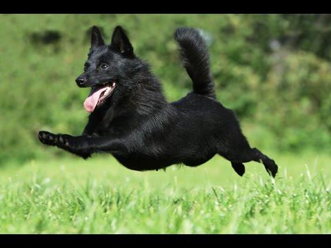 Особенности породы собак Шипперке