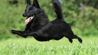 Шипперке – отличная охранная собака. Стандарт породы.