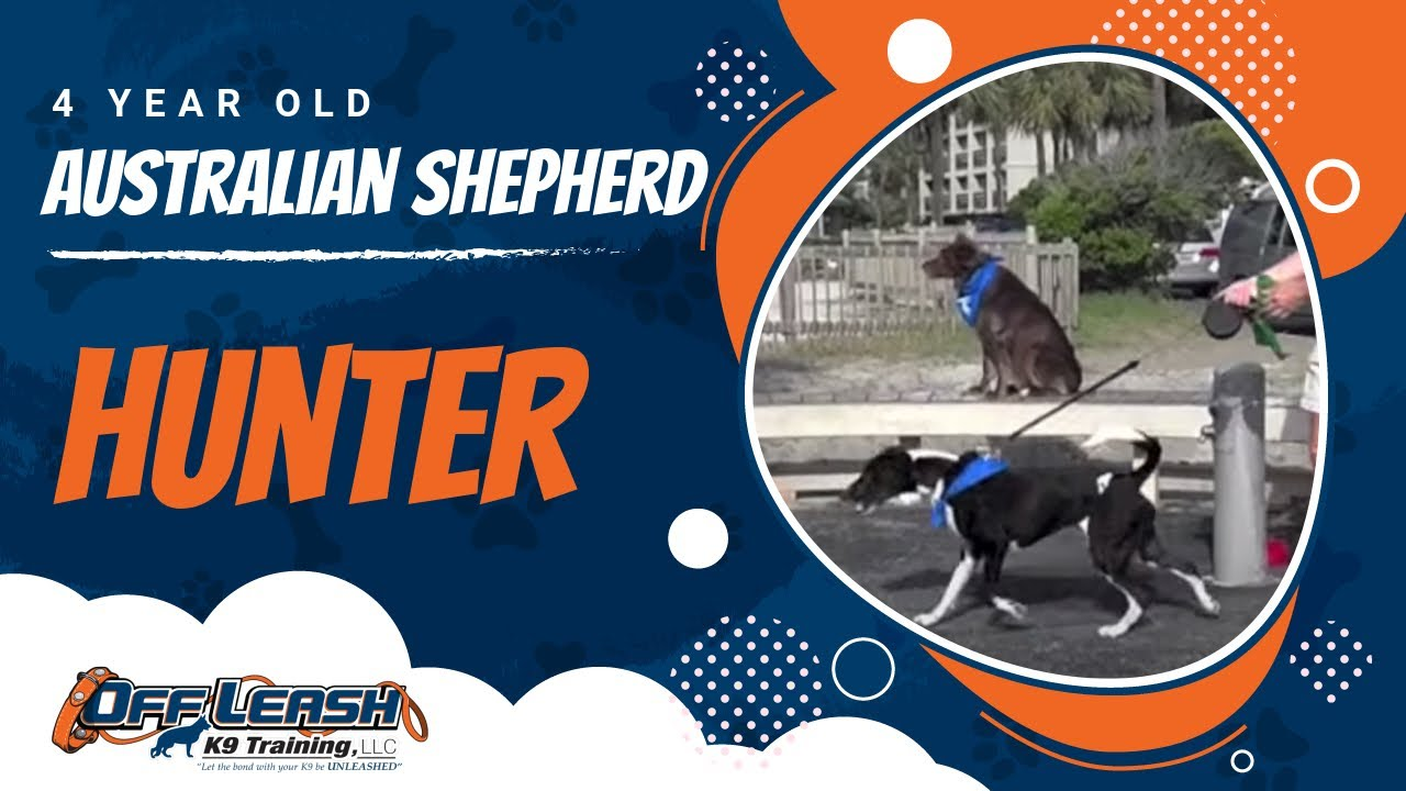 Amazing OLK9 Trained Australian Shepherd! Is Your Dog THIS Good with  Distractions?