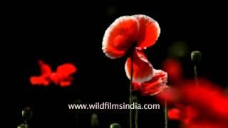 Poppy overload: Oriental Poppy varieties in our Delhi garden