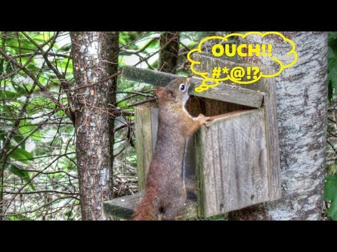 Frustrated Squirrel Smashes Thumb - Reacts Just Like Human