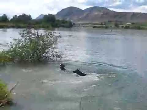 Our dog Spice jumping in river to fetch   2