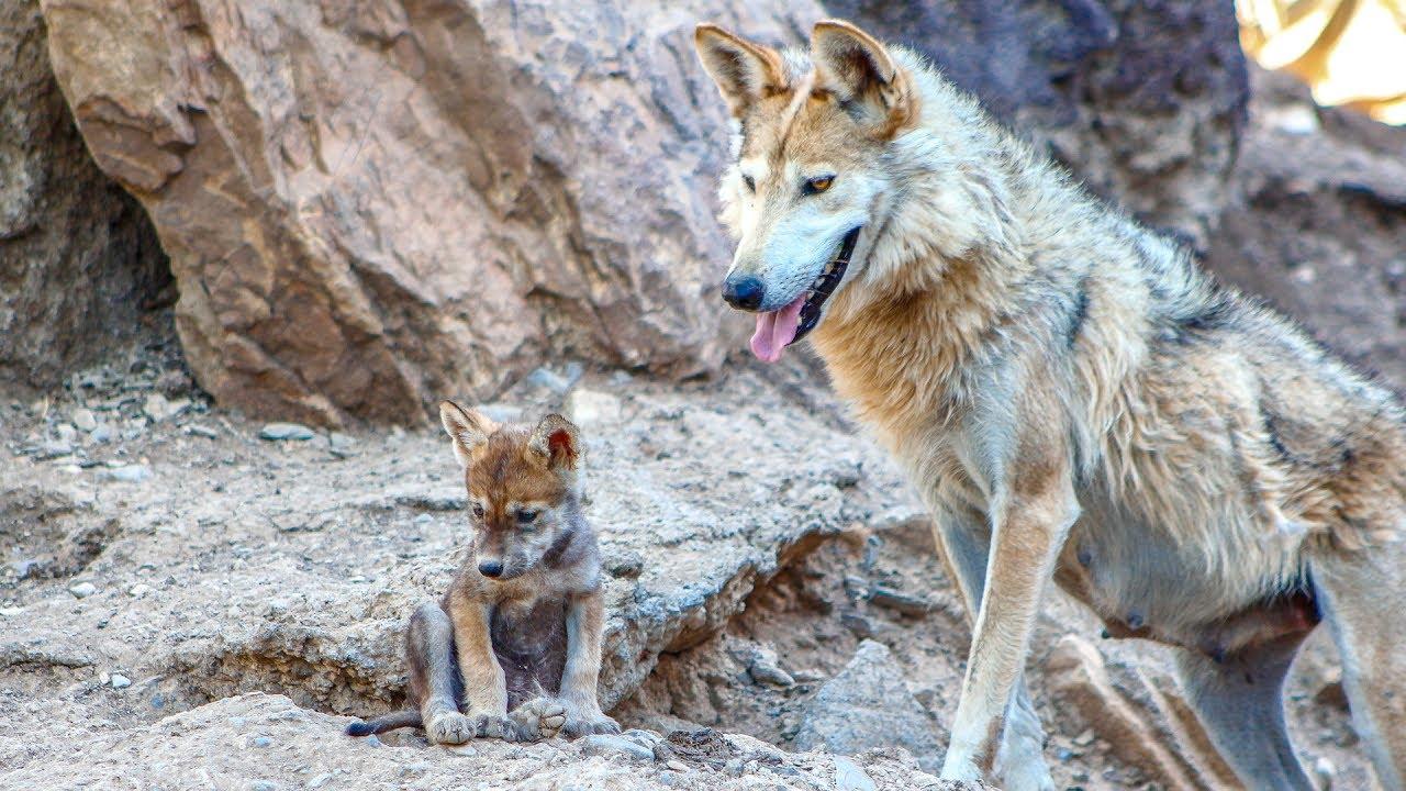 Nacen 5 Cachorros De Lobo Gris Mexicano En El Museo Del Desierto En