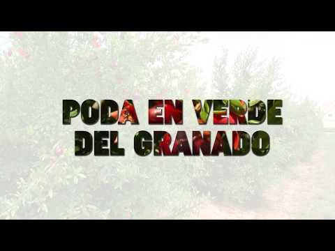 Agrosostenibilidad: poda en verde del granado