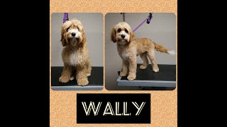 Cavoodle  Wally's Dog Grooming TransFurMation