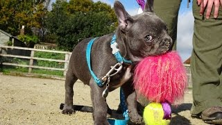 Rolex - French Bulldog Puppy - Assistance Dog in Training - September Competition Winner