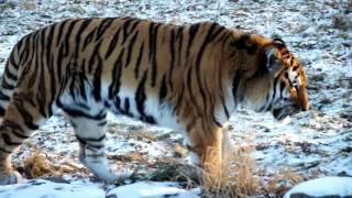 Repeat youtube video Tiger Roar