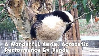 A Wonderful Aerial Acrobatic Performance By Panda | iPanda