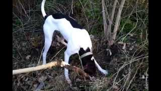 """German  Short-haired Pointer Mix """"riggs"""" Doing Yard Work...again."""