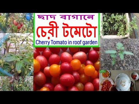 ছাদ বাগানে চেরী টমেটো চাষ (Cherry Tomato in Roof Garden)  ll Bangla