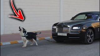 خليت اذكى كلب يسحب سيارة رولز رويس تتوقعون يقدر !!