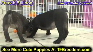 French Bulldog, Puppies, For, Sale, In, Cincinnati, Ohio, Oh, Westerville, Huber Heights, Lima, Lanc