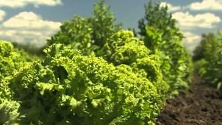 видео Виды зеленых салатов