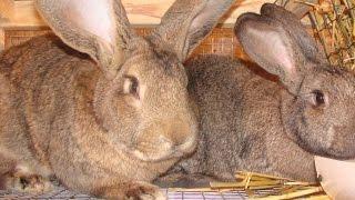 Кролики Фландр (Бельгийский великан)(Кролиководство, кролики, Фландр, Бельгийский великан, гигант, кормление, рацион, личный опыт разведения,..., 2015-03-15T17:29:21.000Z)