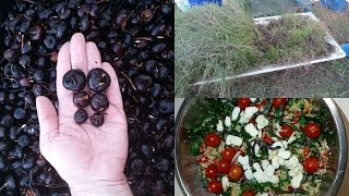 Water chestnut harvest 2015.. A very crunchy harvest..