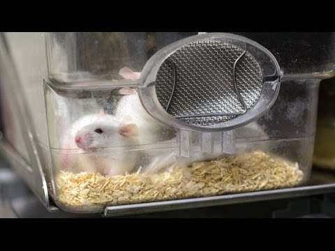 A real-life Fountain of Youth?  Scientists reverse aging in lab mice
