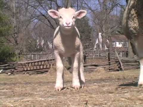 Lambing Season at Philipsburg Manor