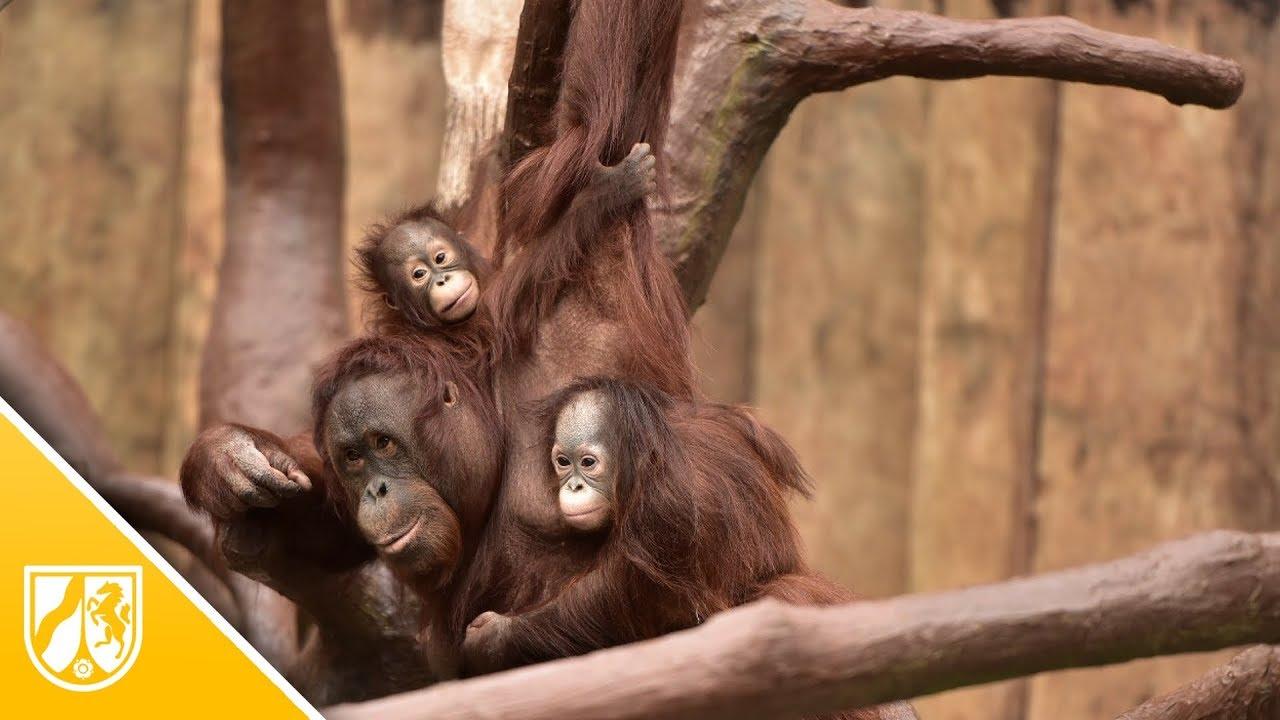 Orang-Utan-Baby Hujan ist zurück bei seiner Familie im ...