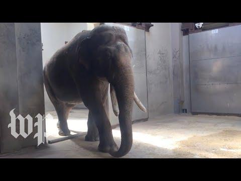 Meet Spike: The National Zoo's new elephant