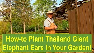 Tips and Ideas on How-to Plant Thailand Giant Elephant Ears in Your Vegetable Garden