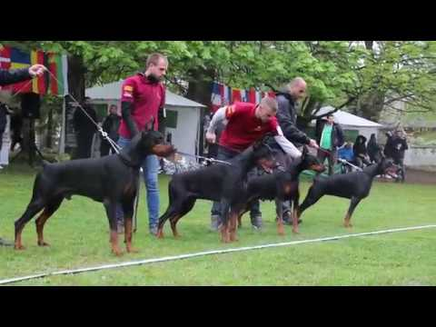 CHAMPION CUP 2019 SPECIAL DOBERMANN SHOW 1/2
