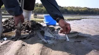 大分県国東市大熊毛海岸の干潟でマテ貝採りの達人に出会う。 単純に指先...