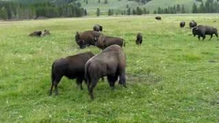 Yellowstone Bison in Mating Season