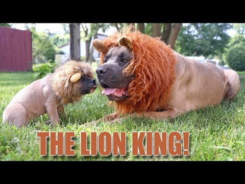 my-dogs-turned-into-simba-and-mufasa-from-the-lion-king