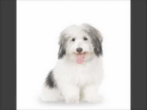 coton de tulear puppies for sale by pets4you com youtube