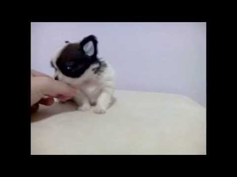 """""""leslie""""-black-white-long-coat-chihuahua-puppy"""