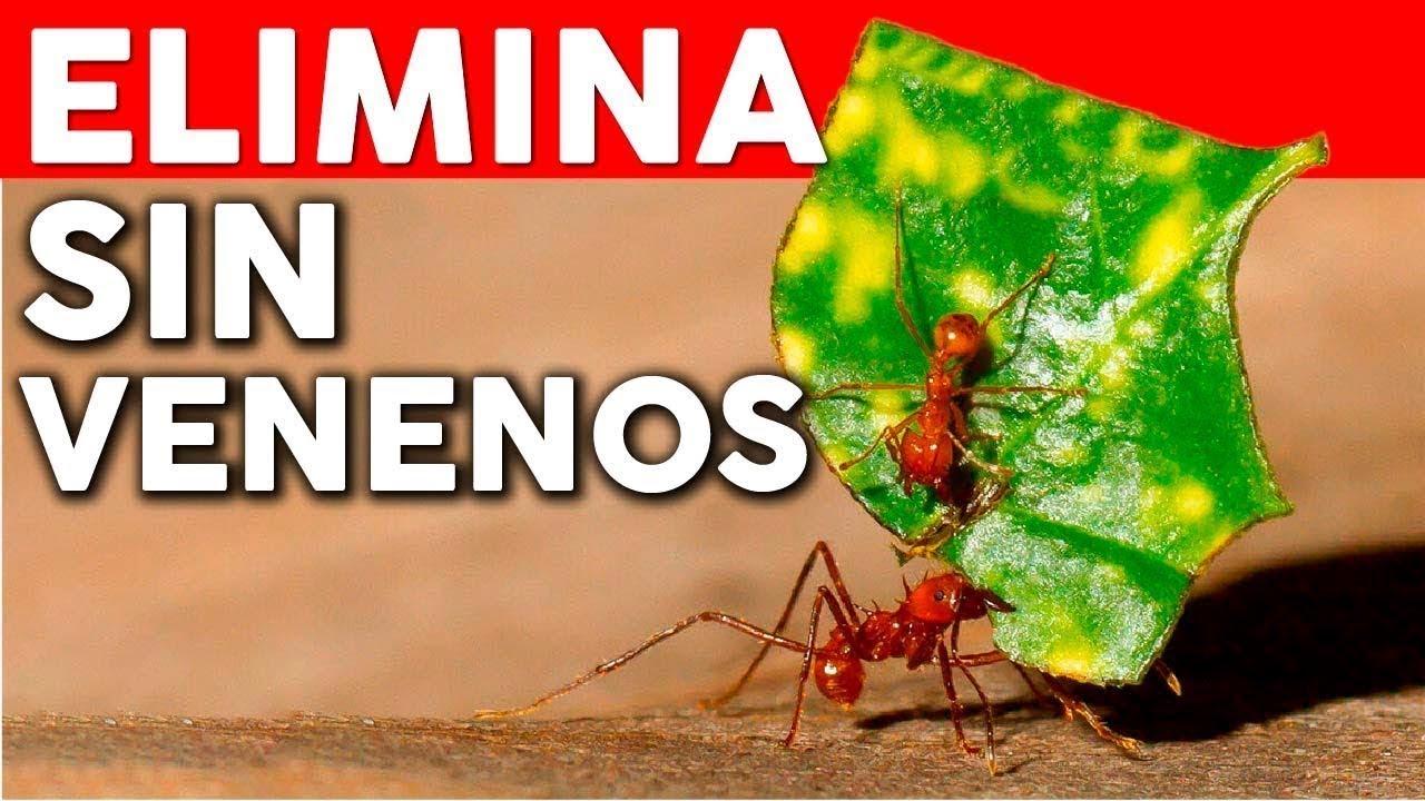 como eliminar las hormigas del huerto novedosa receta