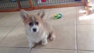 Ralph the Corgi Puppy Gets Distracted During Fetch thumbnail